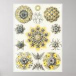 Ernst Haeckel-Kunst-Druck: Polycyttaria Poster