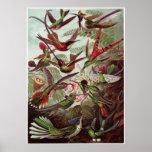 Ernst Haeckel-Kunst-Druck: Trochilidae Plakatdrucke
