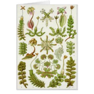 Ernst Haeckel-Kunst-Karte: Leberblümchen Karte