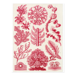 Ernst Haeckel-Kunst-Postkarte: Florideae Postkarte