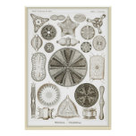 Ernst Haeckel - Kuntsformen der Natur - Tafel 4 Poster