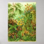 Ernst Haeckel - Muscinae Plakat