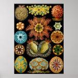 Ernst Haeckel-Plakat ~ Actiniae Poster