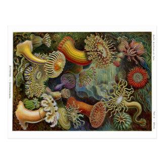 Ernst Haeckel-Seeanemonen Postkarte