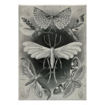 Ernst Haeckel - Tineida Plakate