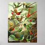 Ernst Haeckel - Trochilidae-Kolibris Poster