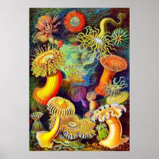 Ernst Haeckels Seeanemonen Posterdrucke