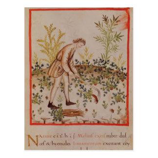Ernten der Pastinake von 'Tacuinum Sanitatis Postkarte