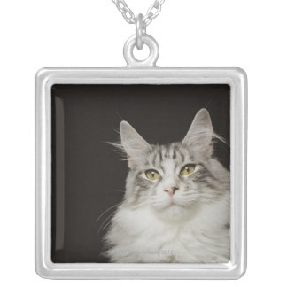 Erwachsene Maine-Waschbär-Katze Versilberte Kette
