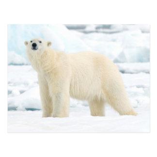 Erwachsener Eisbär auf der Suche nach Nahrung Postkarte