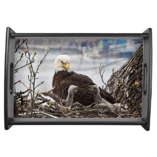 Erwachsener Weißkopfseeadler mit eaglets Tablett