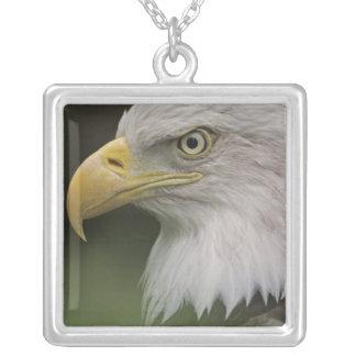 Erwachsenes Weißkopfseeadler-Porträt, Haliaeetus Versilberte Kette