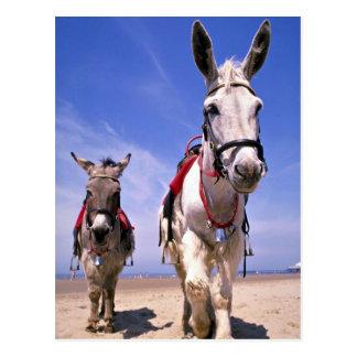 Esel, Blackpool-Strand, England Postkarten