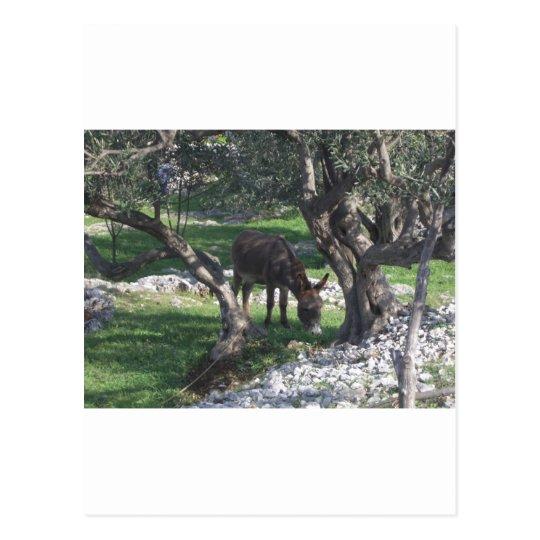 Esel Split Croatia Natur pur Postkarte