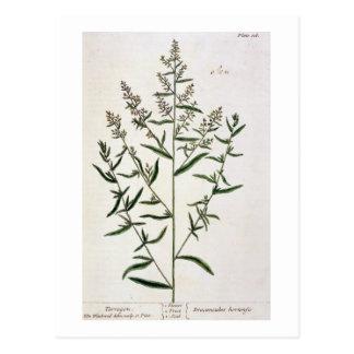 """Estragon, überzieht 116 von """"einem neugierigen postkarte"""