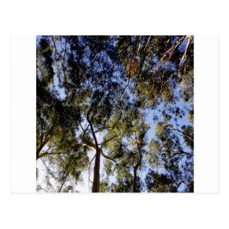 Eukalyptus-Baum-Überdachung Postkarte