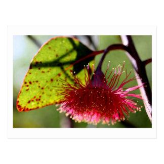 Eukalyptus caesia Postkarte - 01