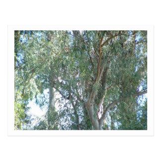 Eukalyptus Postkarte