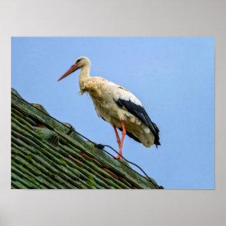Europäischer weißer Storch, Ciconia Poster