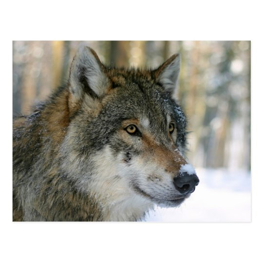 Europäischer Wolf Postkarte