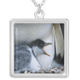 Falklandinseln. Gentoo Pinguinküken nahe bei Versilberte Kette