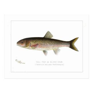 Fall-Fische oder Silber-Döbel Postkarte