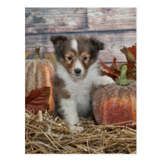 Fall Sheltie Welpe Postkarte