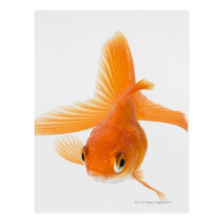 Fantail-Goldfisch (Carassius auratus) Postkarte