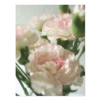 Fast weiße Gartennelken 6 Postkarten