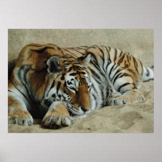 Fauler Tiger-atemberaubendes große Katzen-Foto Poster