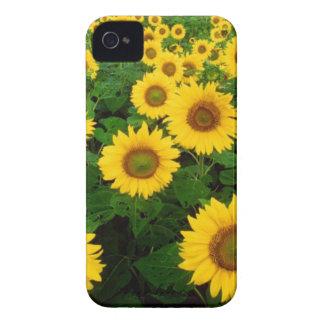 Feld der gelben Sonnenblumen Case-Mate iPhone 4 Hülle