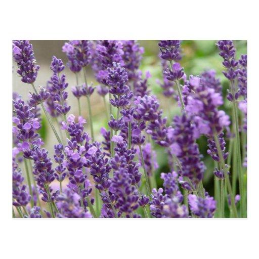 Feld der lila Lavendel-Blumen Postkarte