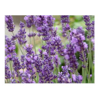 Feld der lila Lavendel-Blumen Postkarten