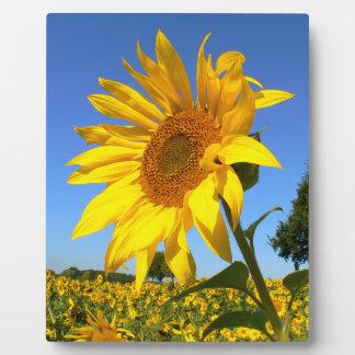 Feld der Sonnenblumen, Sonnenblume Fotoplatte