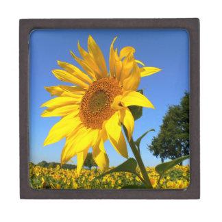 Feld der Sonnenblumen, Sonnenblume Kiste