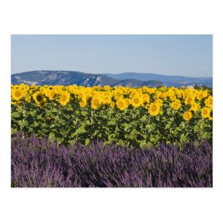 Feld der Sonnenblumen und der Lavendel-Blumen, Postkarte