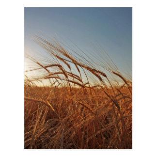 Feld des Kornes Postkarte