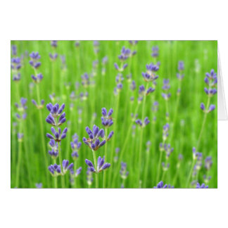 Feld des Lavendels danken Ihnen Karten