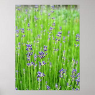 Feld des Lavendels Poster