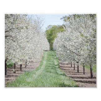 Feld von Kirschbaum-Blüten-Door County Druck