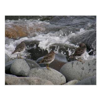 Felsen-Flussuferläufer (Calidris ptilocnemis) Postkarte
