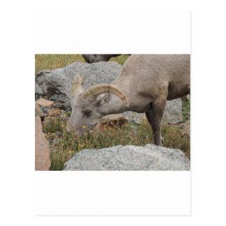 Felsiger GebirgsBig Horn-Schaf-RAM Postkarte