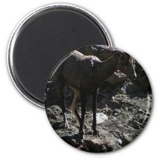 Felsiger GebirgsBighorn-Schafe, Mutterschaf Runder Magnet 5,7 Cm