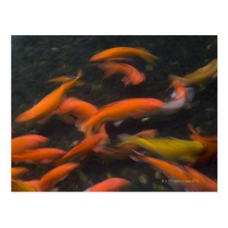 Feng Shui glauben, dass koi Fische gutes Glück Postkarte