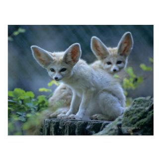 Fennec Füchse Postkarte
