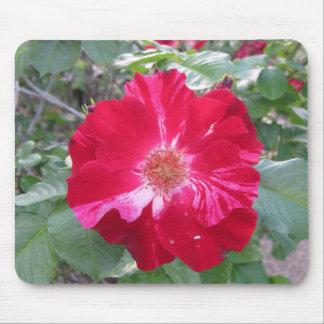 Firecracker-Rose ~ Single-Blüte Mauspad