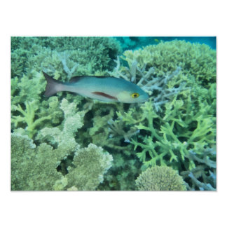 Fische, die das Riff durchstreifen Poster