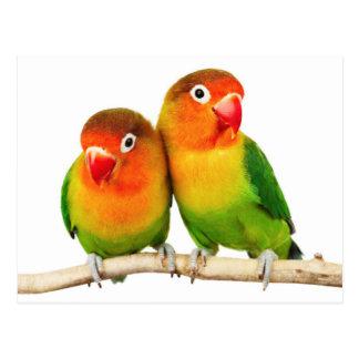 Fischer's lovebird (Agapornis fischeri) Postkarte