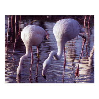 Flamingo-Blackpool-Zoo Postkarte