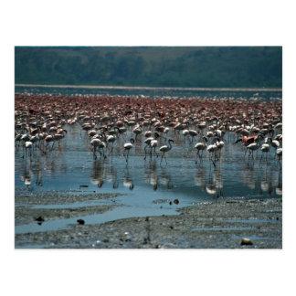 Flamingos, See Nakuru, Kenia Postkarten